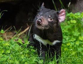 Tasmanian devil Credit: Mathias Appel