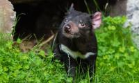 Tasmanian devil Credit: Mathias Appel